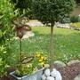 ligustrum (little tree)