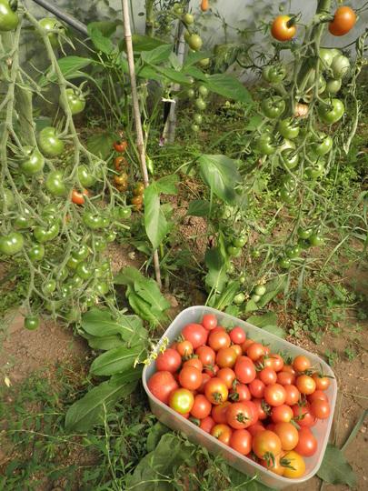Tomatoe conveyor belt
