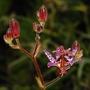 Tricyrtis formosana (Tricyrtis formosana (Toad Lily))