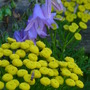 Tansy and Campanula (Tanacetum vulgare (Common tansy))