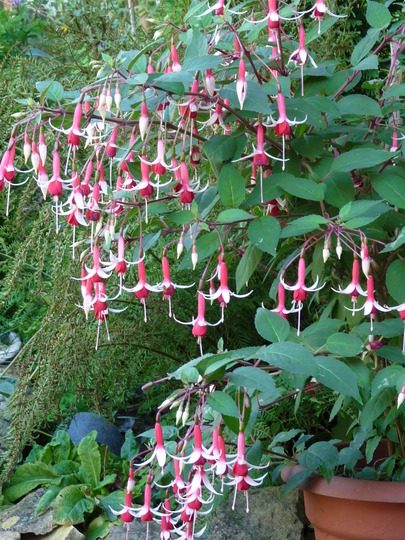 Fuchsia ~ Orange Crush (Fuchsia)