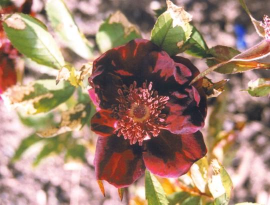 Rose Basye's Purple (Rosa rugosa (Rugosa rose))