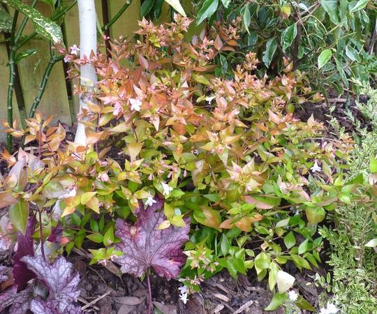 Abelia starting to flower... (Abelia x grandiflora (Abelia))