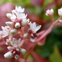 Persicaria 'Red Dragon' flowers close-up