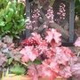 Red Heuchera Trio....