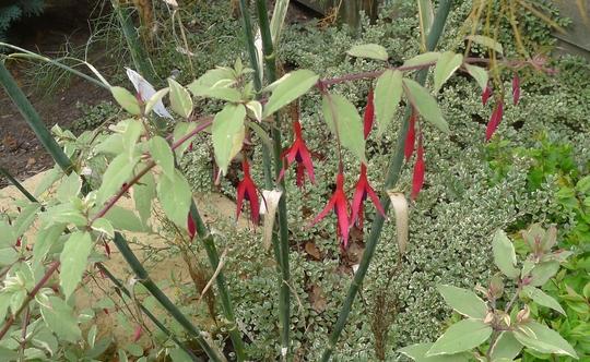 Fuchsia magellanica 'Versicolor' - 2013 (Fuchsia magellanica)