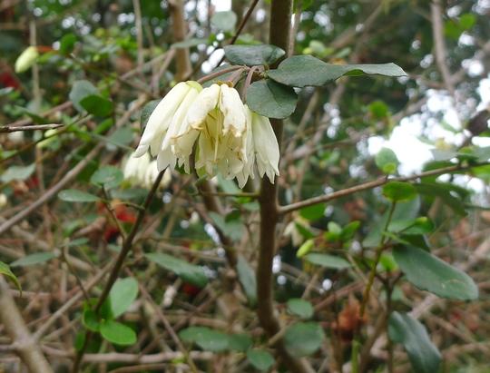 Crinodendron patagua - 2013 (Crinodendron patagua)