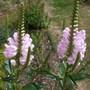 Physostegia_bouquet_rose