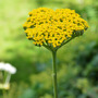 Achillea_cloth_of_gold_yellow_