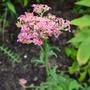 Achillea_summer_pastels_pink_