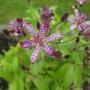 Tricyrtis_empress_flower2