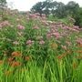 Eupatorium_purpureum_with_crocosmia2