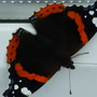 Red Admirals have arrived.