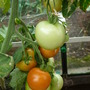 Tomatoes have produced good fruit this year.