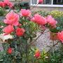 'Fragrant Delight' Rose.