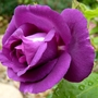 Rosa 'Rhapsody in Blue'