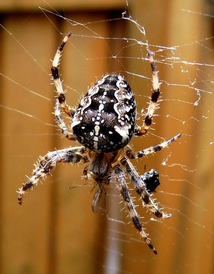 Spider in the Garden....