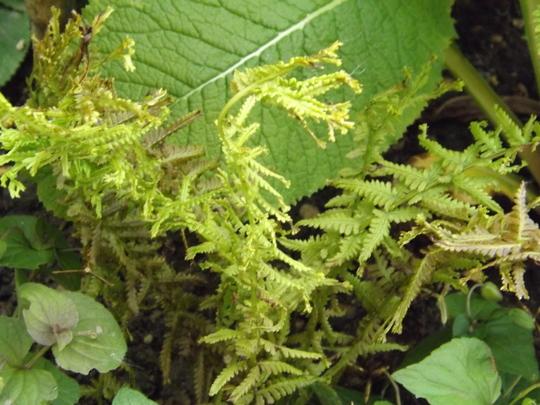 Athyrium filix femina Cruciatum Victoriae (Athyrium filix-femina (Lady fern))