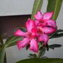 Adenium obesum - Desert Rose Blooming (Adenium obesum - Desert Rose)