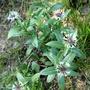 Centauria, Amethyst in Snow (Centaurea montana (Berg Centaurie))