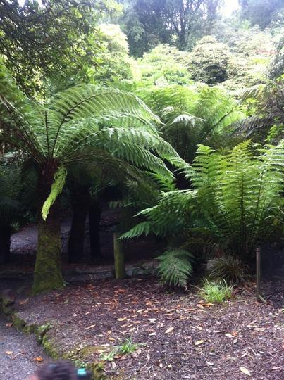 Tree ferns at Trebah