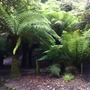 Tree ferns at Trebah