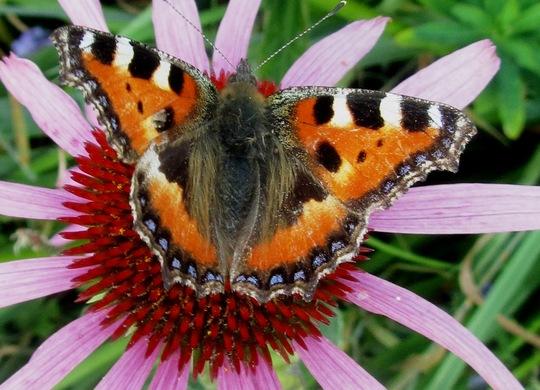Echinacea & butterfly (Tortoiseshell)