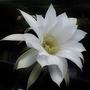 2_echinopsis_subdenudata