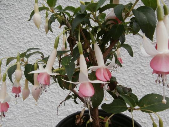 Fuchsia Otherfellow,