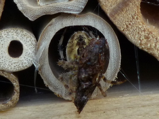 Diadem spider enjoying the garden room at the Bee Hotel!