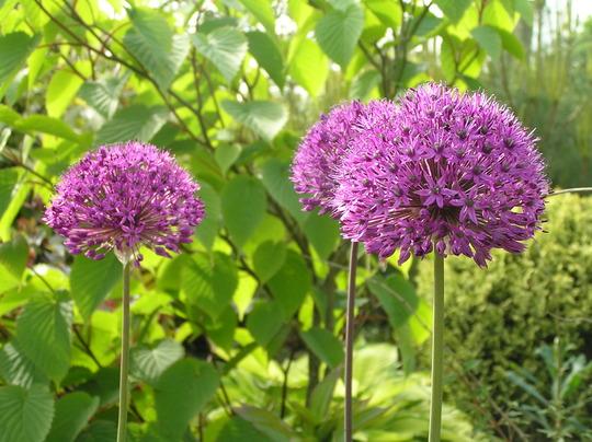 Alliums (Allium sp and Davidia involucrata (Handkerchief tree))