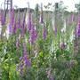 Foxgloves (Digitalis purpurea (foxglove))
