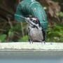 Woodpecker_baby