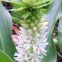 Eucomis autumnalis (Eucomis autumnalis (Amathunga))