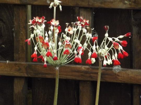 Primula florindae (Primula florindae)