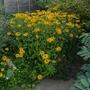 Rudbeckia fulgida var sullivantii 'Goldsturm' - 2013 (Rudbeckia fulgida)