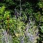 Perovskia_blue_spire_.1