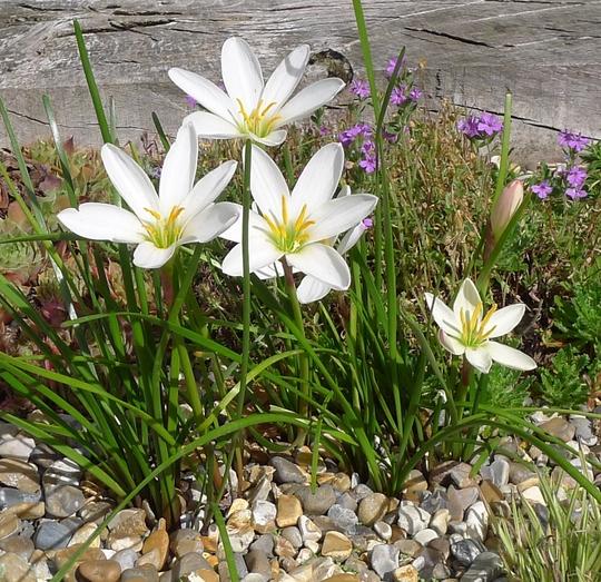 Zephyranthes candida - 2013 (Zephyranthes candida)