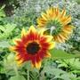 Harlequin Sunflowers