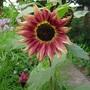 Harlequin Sunflowers (2)