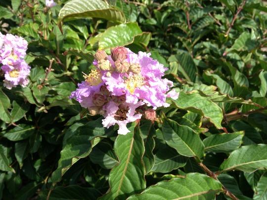 Lagerstroemia speciosa - Queen's Crape Myrtle (Lagerstroemia speciosa - Queen's Crape Myrtle)