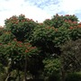 Orange-Red and Golden-Yellow African Tulip Trees Blooming in Balboa Park, San Diego, CA. (Spathodea campanulata (African Tulip Tree))
