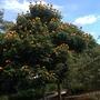 Spathodea campanula 'Aurea' - Golden-Yellow African Tulip Tree (Spathodea campanula 'Aurea' - Golden-Yellow African Tulip Tree)