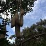 Kigelia africana - Sausage Tree Seed Pods (Kigelia africana - Sausage Tree)