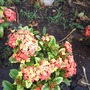 Ixora coccinea - Jungle Geranium (Ixora coccinea - Jungle Geranium)