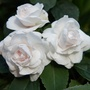 White Double Impatiens
