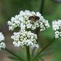 Valerian Visitor (Valeriana officinalis (Arznei-Baldrian))