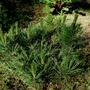 Mugo, Pinus mugo