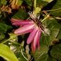 "Passiflora ""Amethyst"" (Passiflora)"