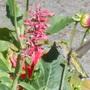 Mexican hyssop (Agastache mexicana)  (Agastache mexicana)